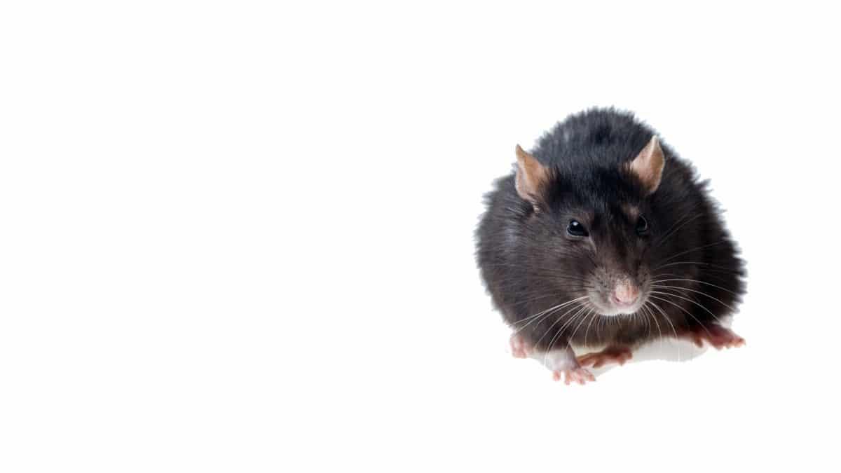 Extermination des Rats Paris Ile de France